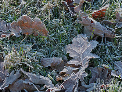 Photograph - Frosted Grass And Leaves by Phil Banks