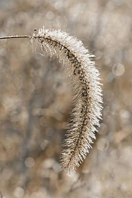 Photograph - Frosted Grass by Lori Deiter