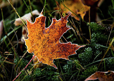 Photograph - Frosted Leaf by Tim Kirchoff