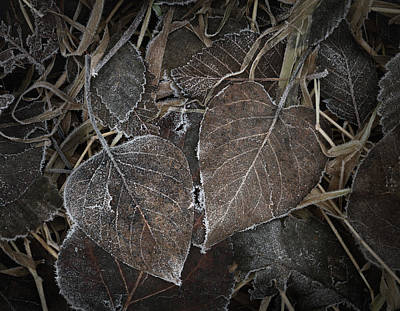 Photograph - Frosted Leaves by Adam Gibbs