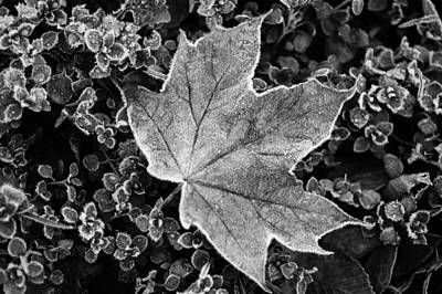 Photograph - Frosted Maple Leaf. Black And White by Jenny Rainbow