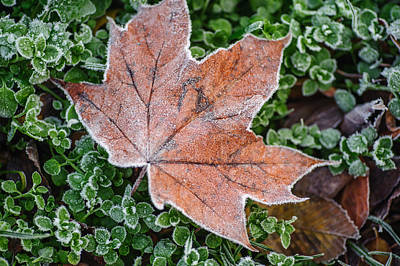 Photograph - Frosted Maple Leaf by Jenny Rainbow