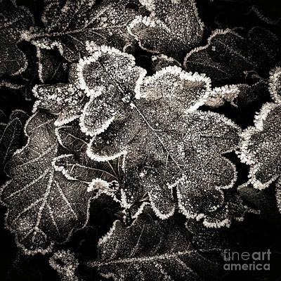 Oak Leaves Photograph - Frosted Oak Leaves . by Bernard Jaubert