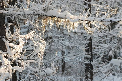 Frosted Pine Branches Art Print