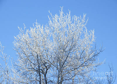 Photograph - Frosted Poplar by Marianne NANA Betts