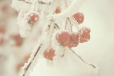 Photograph - Frosted Red Apples. Gentle Winter by Jenny Rainbow