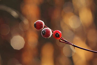 Photograph - Frosted Rose Hips by Debbie Oppermann