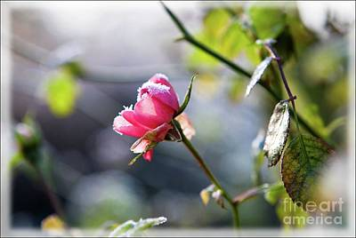 Photograph - Frosted Rose by Liz Alderdice