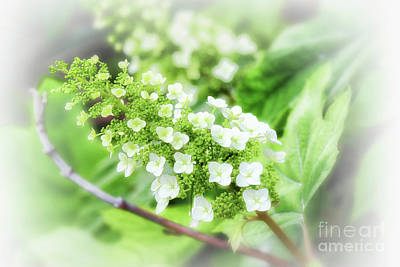 Photograph - Frosted Snow Queen Hydrangea by Karen Adams