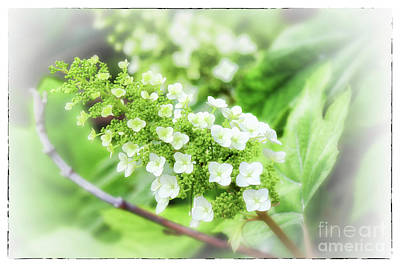 Photograph - Frosted Snow Queen Hydrangea With Border by Karen Adams