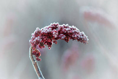 Photograph - Frosted Staghorn Sumac by Susan Capuano