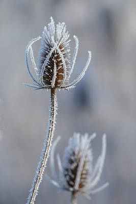 Photograph - Frosted Teasel by Angie Vogel