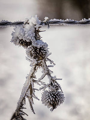 Photograph - Frosted Thistle by Inge Riis McDonald