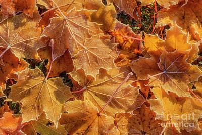 Maple Leaf Art Photograph - Frosted by Veikko Suikkanen