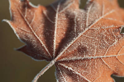 Photograph - Frosted Veins Of The Maple Leaf by Jenny Rainbow