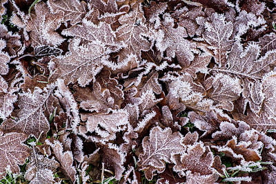 Photograph - Frostnipped Oakleaves by Torbjorn Swenelius