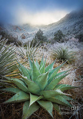 Frosty Agave Art Print by Inge Johnsson