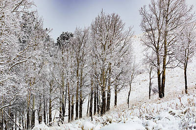Steven Krull Royalty-Free and Rights-Managed Images - Frosty Aspen Trees by Steven Krull