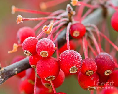 Photograph - Frosty Berries by Kerri Farley