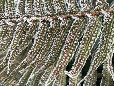 Photograph - Frosty Fern - 365-322 by Inge Riis McDonald
