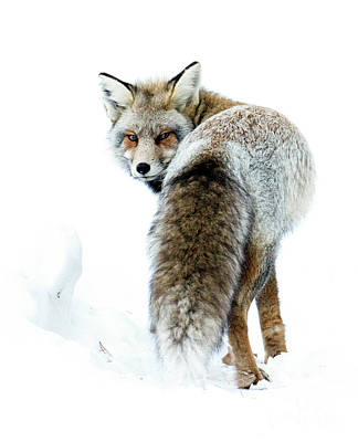 Photograph - Frosty Fox by Deby Dixon