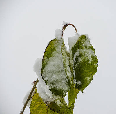 Winter Photograph - Frosty Green Leaves by Deborah Smolinske