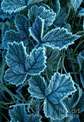 Photograph - Frosty Ivy by Garnett  Jaeger