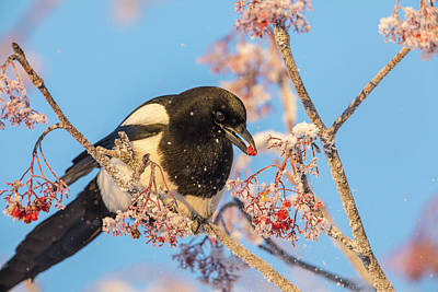 Magpies Photograph - Frosty Magpie by Tim Grams