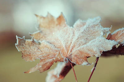 Photograph - Frosty Maple Leaves by Jenny Rainbow