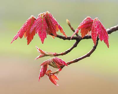Photograph - Frosty Maple Leaves by Steve Zimic