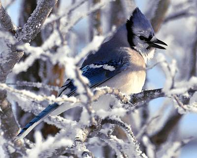 Digital Art - Frosty Morning Blue Jay by Fred Zilch