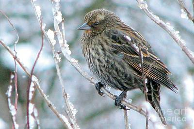 Photograph - Winter's Perch by Frank Townsley