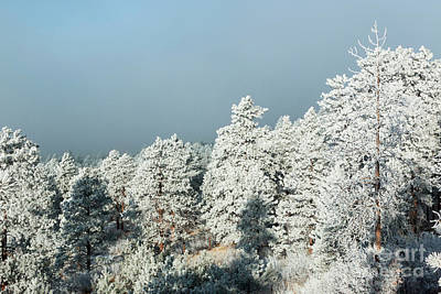 Steven Krull Royalty-Free and Rights-Managed Images - Frosty Pikes Peak Pines by Steven Krull