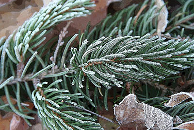 Frosty Pine Branch Art Print