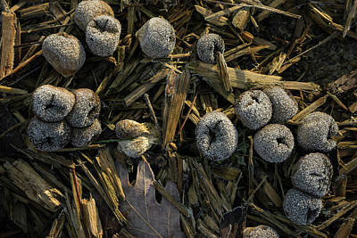 Photograph - Frosty Puffballs by Douglas Barnett