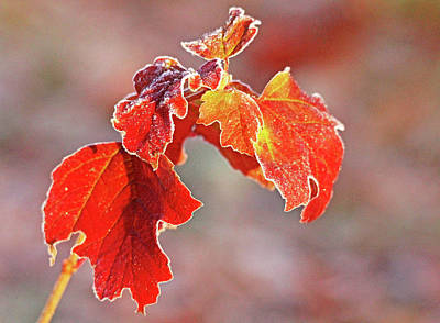 Photograph - Frosty Red And Gold by Debbie Oppermann
