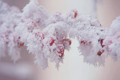 Photograph - Frosty Red Berries. Gentle Winter by Jenny Rainbow