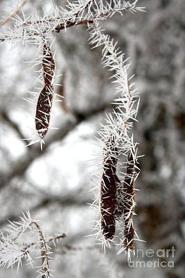 Ice On Branch Photograph - Frosty Seed Pods by Carol Groenen