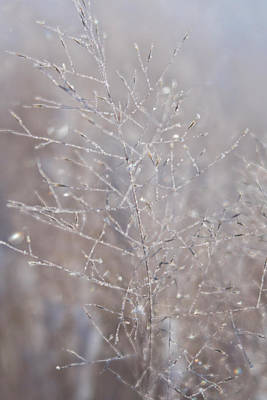 Photograph - Frosty Snow Tipped Dried Winter Shrubs by Barbara Rogers