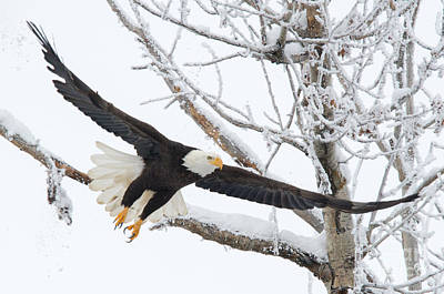 Eagle Photograph - Frosty Take-off by Mike Dawson