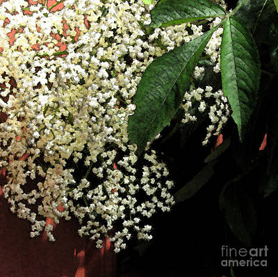 Photograph - Frothy Elderberry Blossom With Fresco Filter by Conni Schaftenaar
