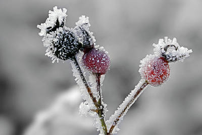 Photograph - Frozen Buds by Inge Riis McDonald