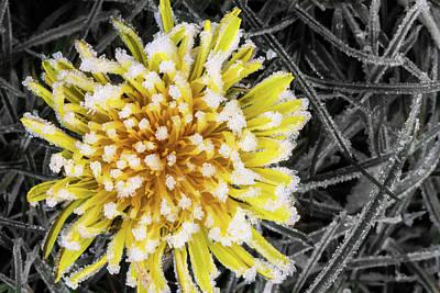 Photograph - Frozen Dandelion by Kathryn Bell