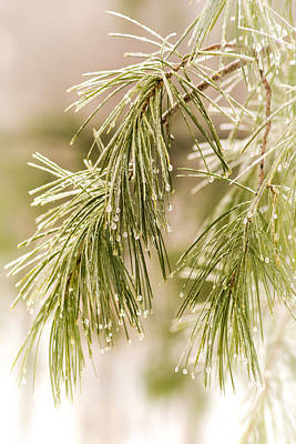Photograph - Frozen Droplets On Pine Needles by Cora Ahearn