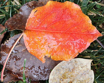Photograph - Frozen Fall Leaves by Kathy M Krause