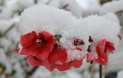 Ally Photograph - Frozen Flowers by Ally White