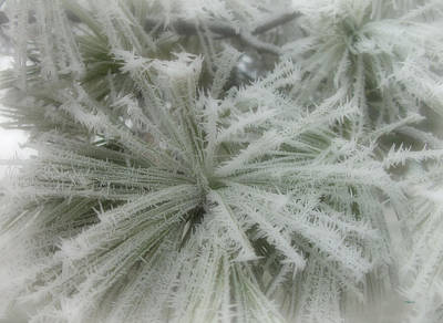 Photograph - Frozen Fog On Pine by Cynthia Lassiter
