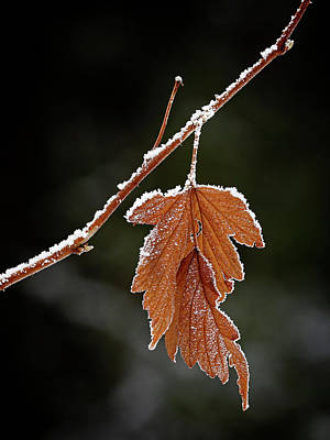 Photograph - Frozen Leaf - 365-287 by Inge Riis McDonald