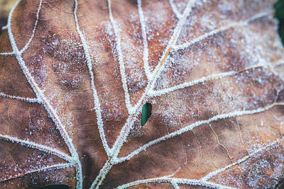 Photograph - Frozen Leaves by Teri Virbickis