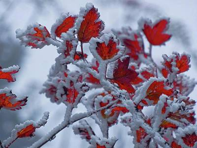 Photograph - Frozen Maple Leaves by Dan Sproul